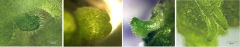 Entwicklung somatischer Embryonen an Explantaten des Blütenstandstängels von P. sidoides