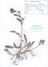 Ornithopus compressus CZ-20150403A-1