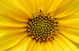 Helianthus-tuberosus-IMGP5103.jpg