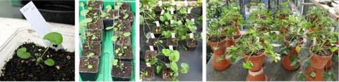 Entwicklung der durch somatische Embryogenese entstandenen Jungpflanzen im Gewächshaus