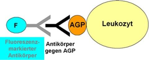 Nachweis der Bindung eines AGPs an humane Leukozyten