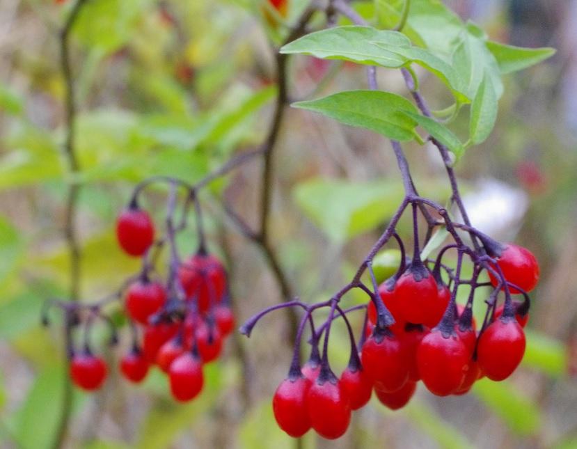 Solanumdulcamara